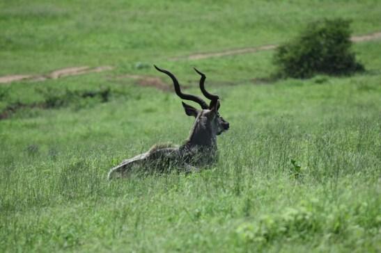 Ein Kudu im Tala Reservat