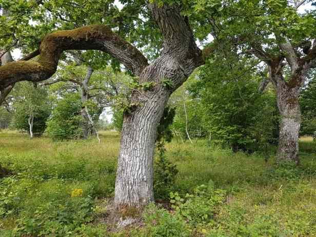 Eeuwenoude eiken in Loode natuurpark