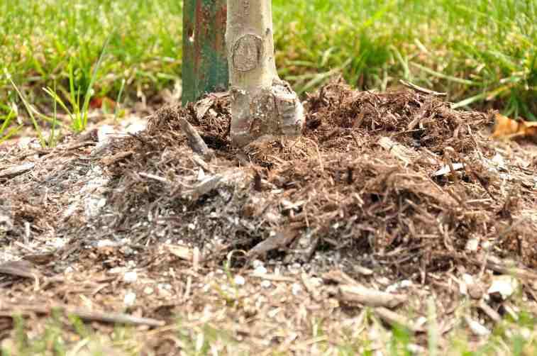 Collet trop haut par rapport au niveau du sol