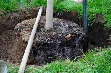 Collet bien positionné, au niveau du sol et légèrement sous le niveau du gazon