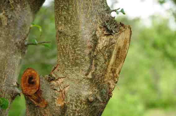 Mauvaise coupe sans possibilité de produire du bois de guérison (droite) et chicot (gauche).