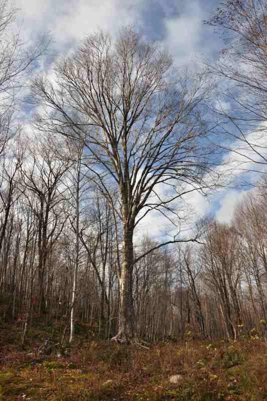 Bouleau Jaune dans son environnement naturel. Défilement de tronc unique, éléments de fourche situés à une hauteur appropriée et bien hiérarchisées.