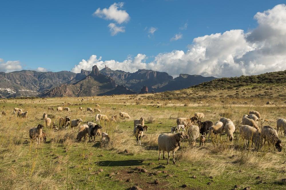 Får - Gran Canaria i Spanien
