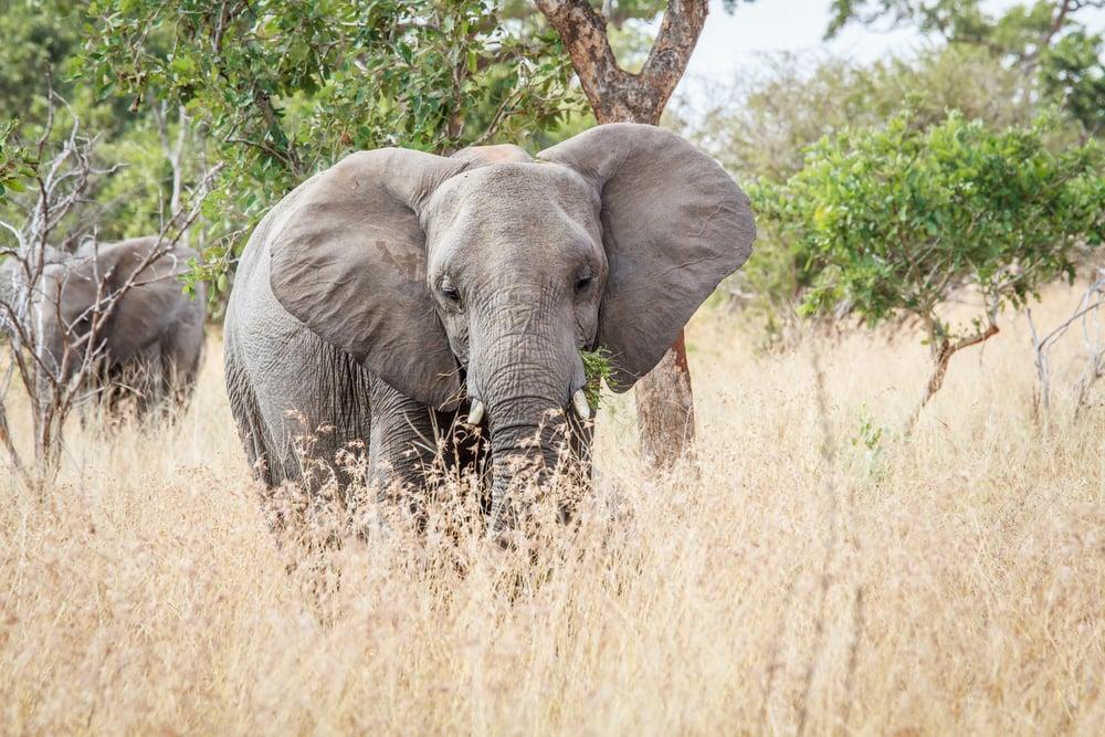 Elefeant i Kruger National Park i Sydafrika