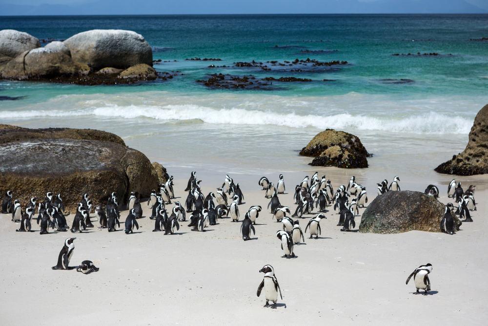 Pingviner ved Boulders Beach Nature Reserve i Cape Town - Sydafrika