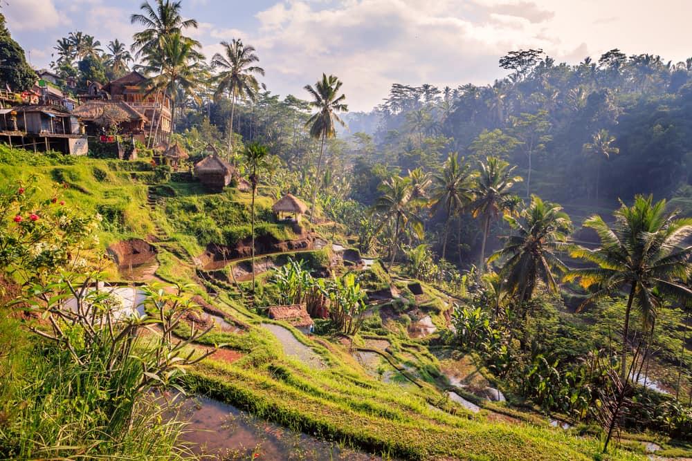 Rismarker i junglen - Bali i Indonesien