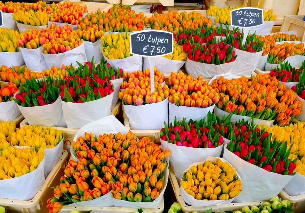 Tulipaner på blomstermarked - Amsterdam i Holland
