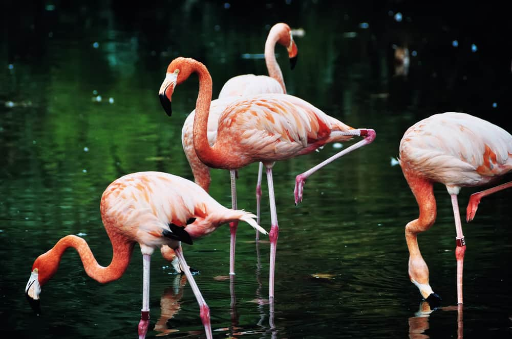 4 flamingoer i en sø i Barcelona Zoo.