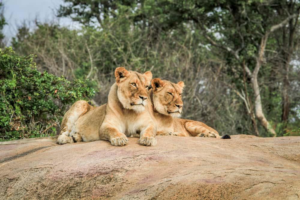 Løver i Kruger National Park