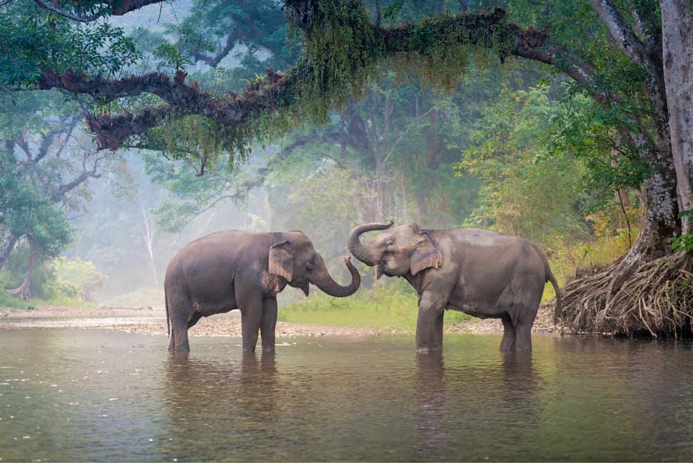 Elefanter tager bad
