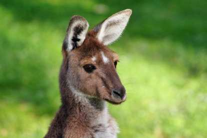 Australia - kangaroo, wallaby - travel
