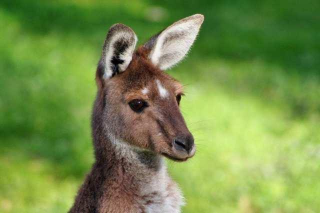 Australie - kangourou, wallaby - voyage