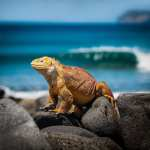 Galapagos øgle - rejser