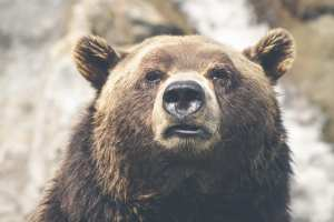 USA - Alaska, grizzly - rejser