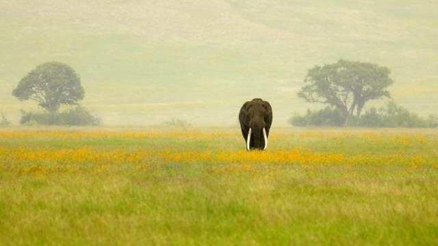 Tanzania _Ngorongoro Crater_WildlifeTuskerElephant