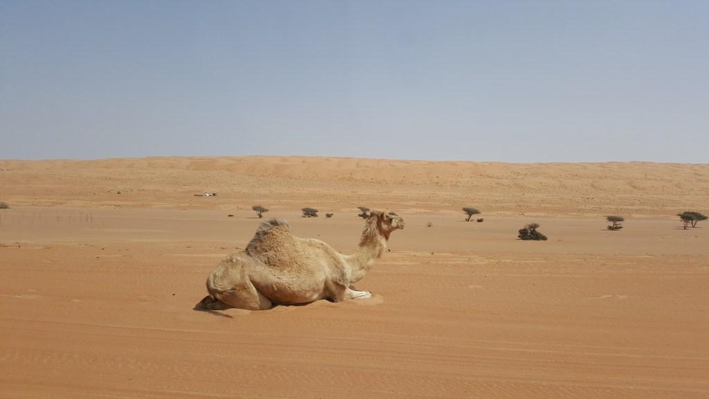Oman - Dromedarer ørken rejser