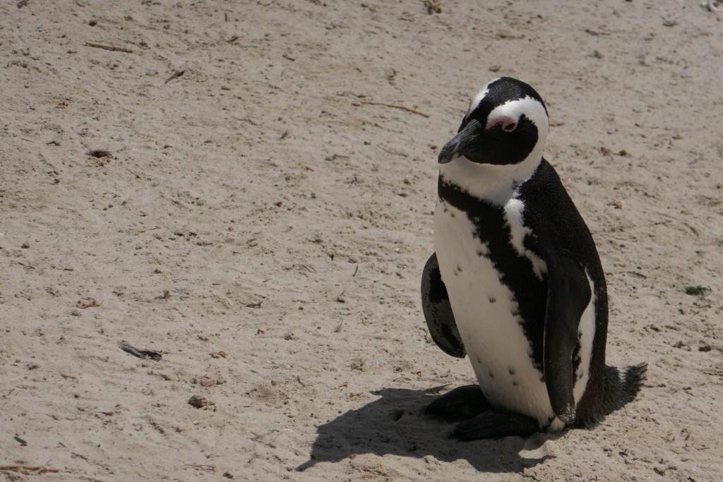Afrique du Sud - pingouin, voyage