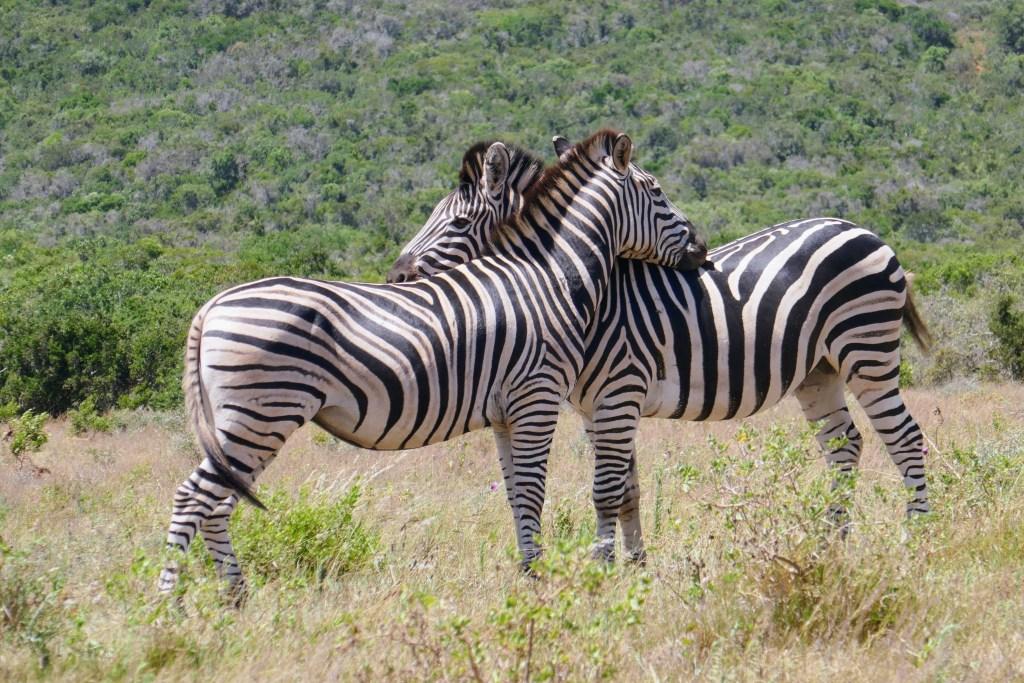 Afrique du Sud, zèbre, safari - voyage
