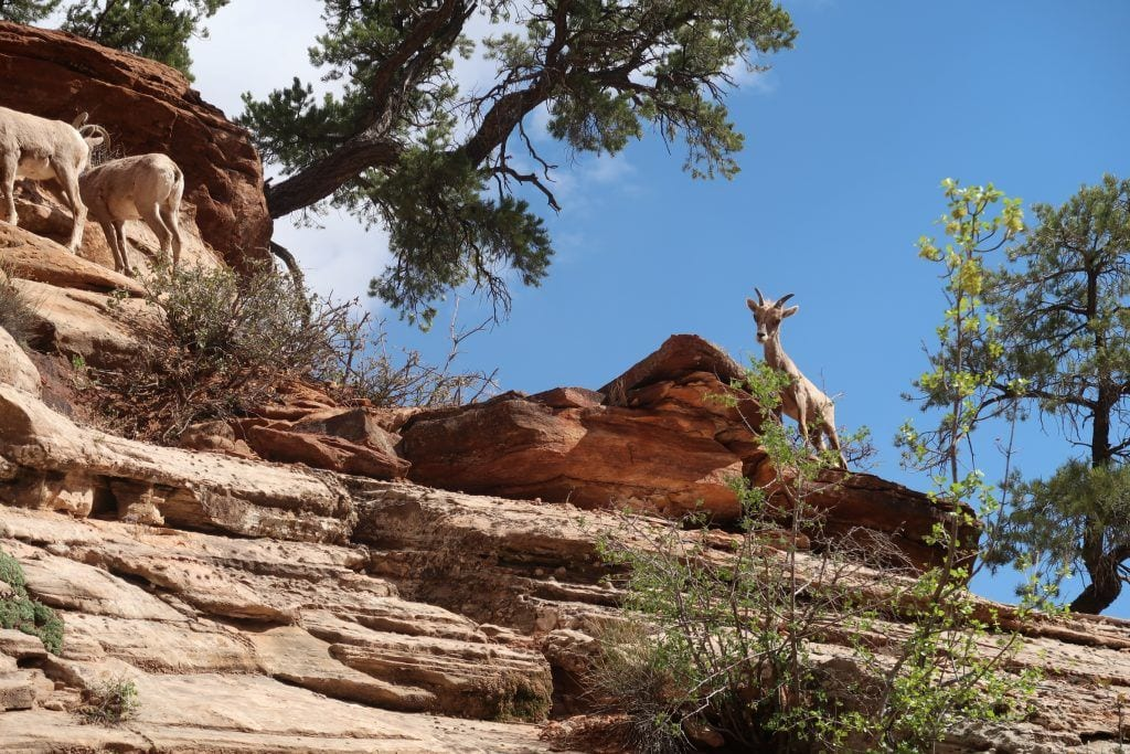 USA - road trip dyr bjerge - rejser - zion nationalpark