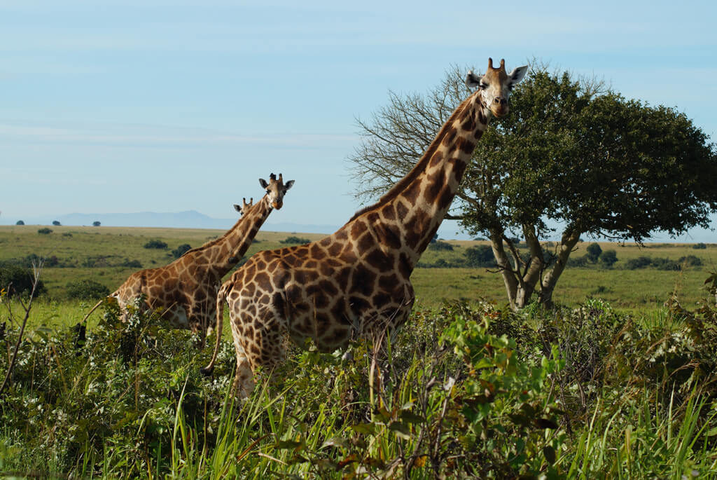 Giraffer - Uganda - rejser