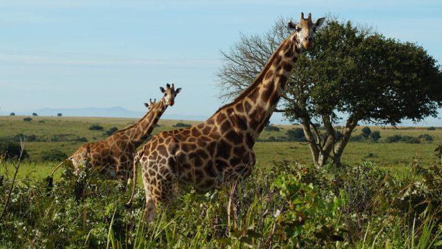 Giraffes - Uganda - travel