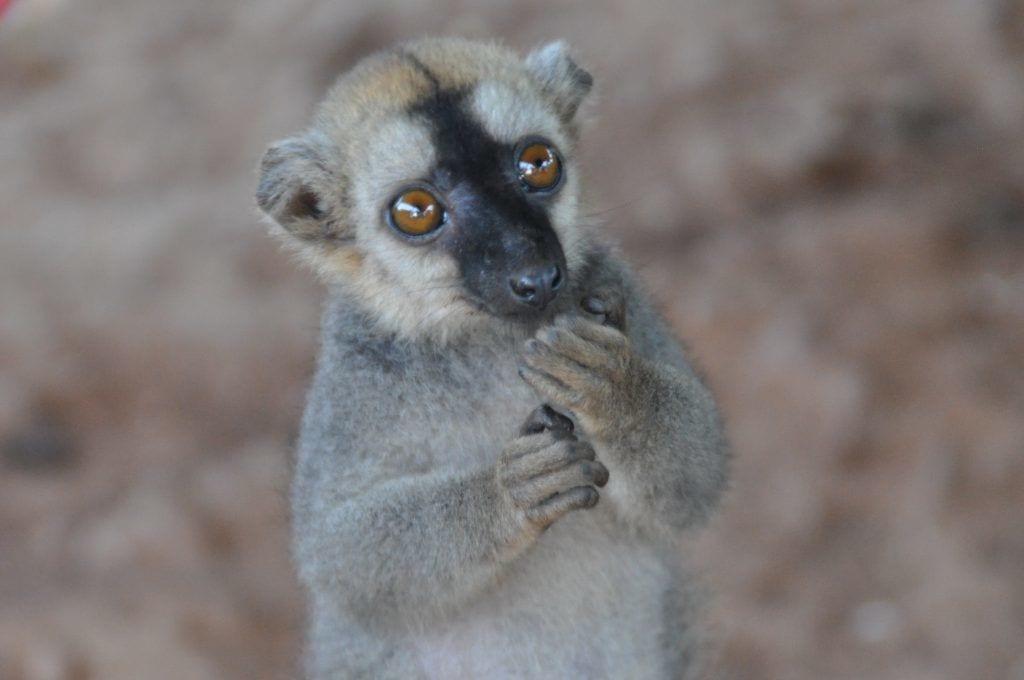 Lemur - dyr natur madagaskar - rejser - Madagaskar-rejse