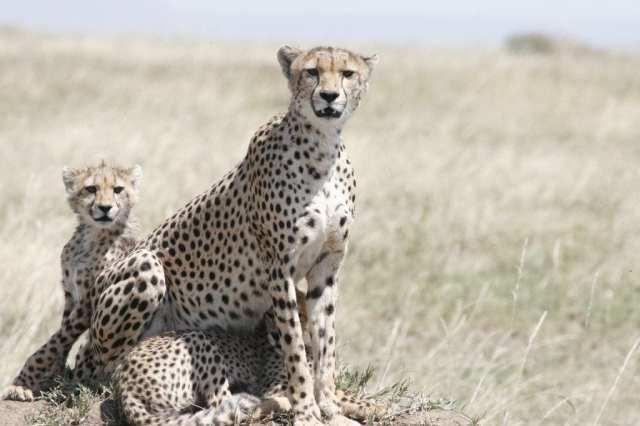 Leopardo safari della Tanzania