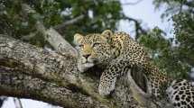 Safari hlébarði í Kenýa