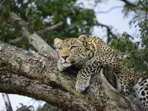 Kenian safari-leopardi