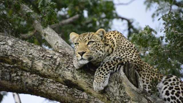 Kenya safari leopard