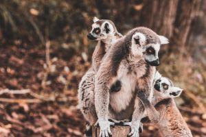 madagaskar - lemurer - rejser
