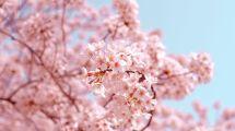 Sakura, Japan