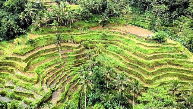 Bali - Ubud - Pirinç tarlaları - seyahat