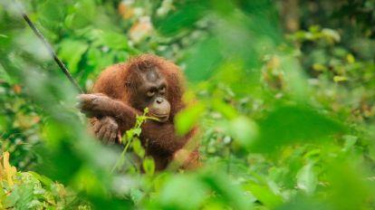 Orangutang, Borneo - rejser