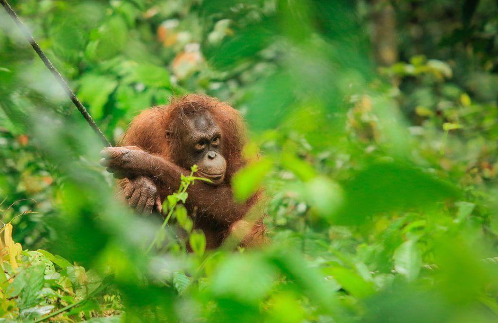 Orangutang Malaysia Borneo - rejser
