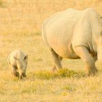 Afríka Botswana nashyrningafaríferð