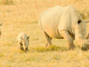 Afrikka Botswanan sarvikuonosafari
