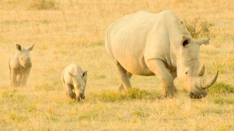 Afrika Botswana næsehorn safari rejser