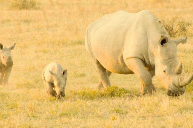 África Botswana viaje de safari de rinocerontes