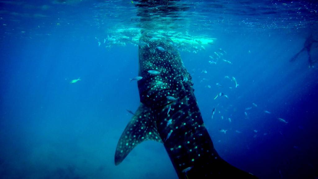 Filippinerne, Cebu, hvalhaj, undervandsbillede, dykning, hav, rejser
