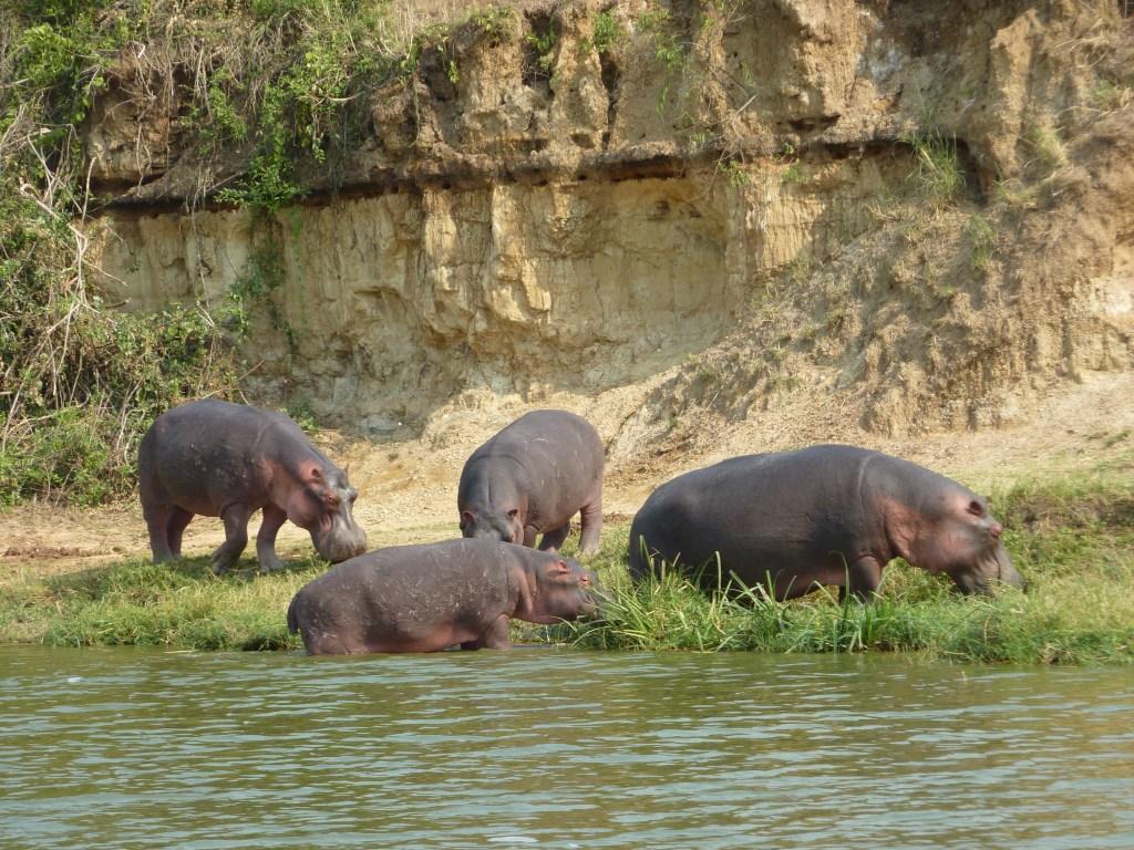 Afrika Uganda sø flodheste rejser