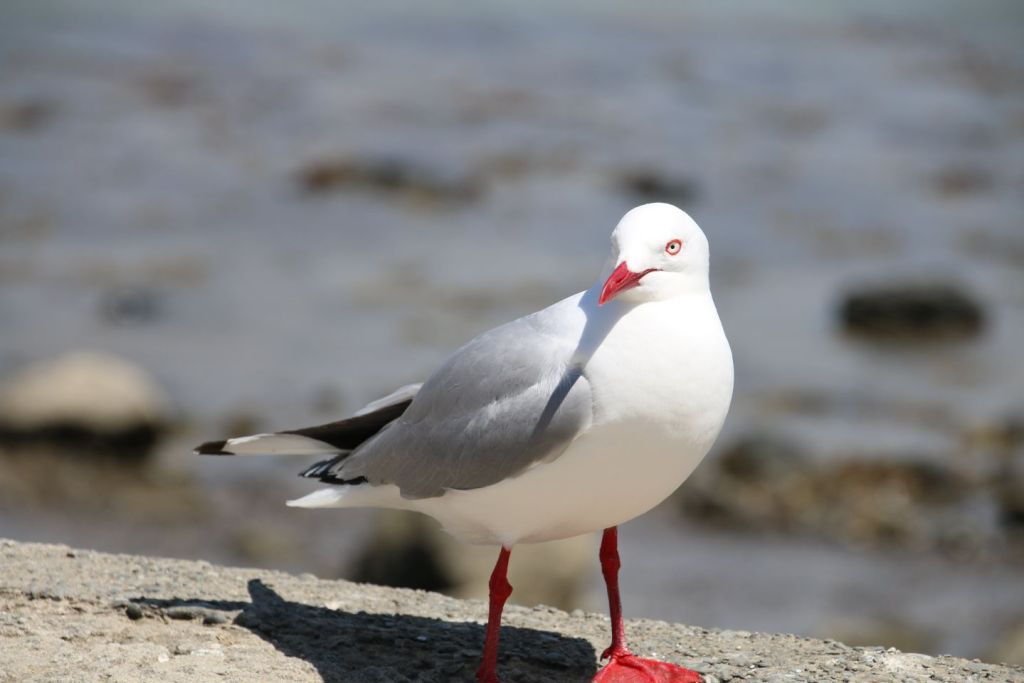 New Zealand Moriake Beach Seagull Travel