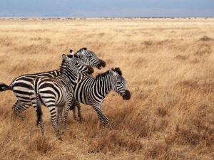 Africa Tanzania Safari Zebra Travel