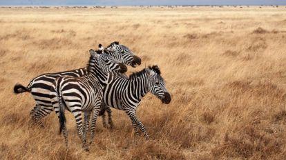 Afrika Tanzanija Safari Zebra putovanja
