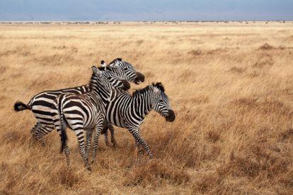 Afrika Tanzanie Safari Zebra Travel