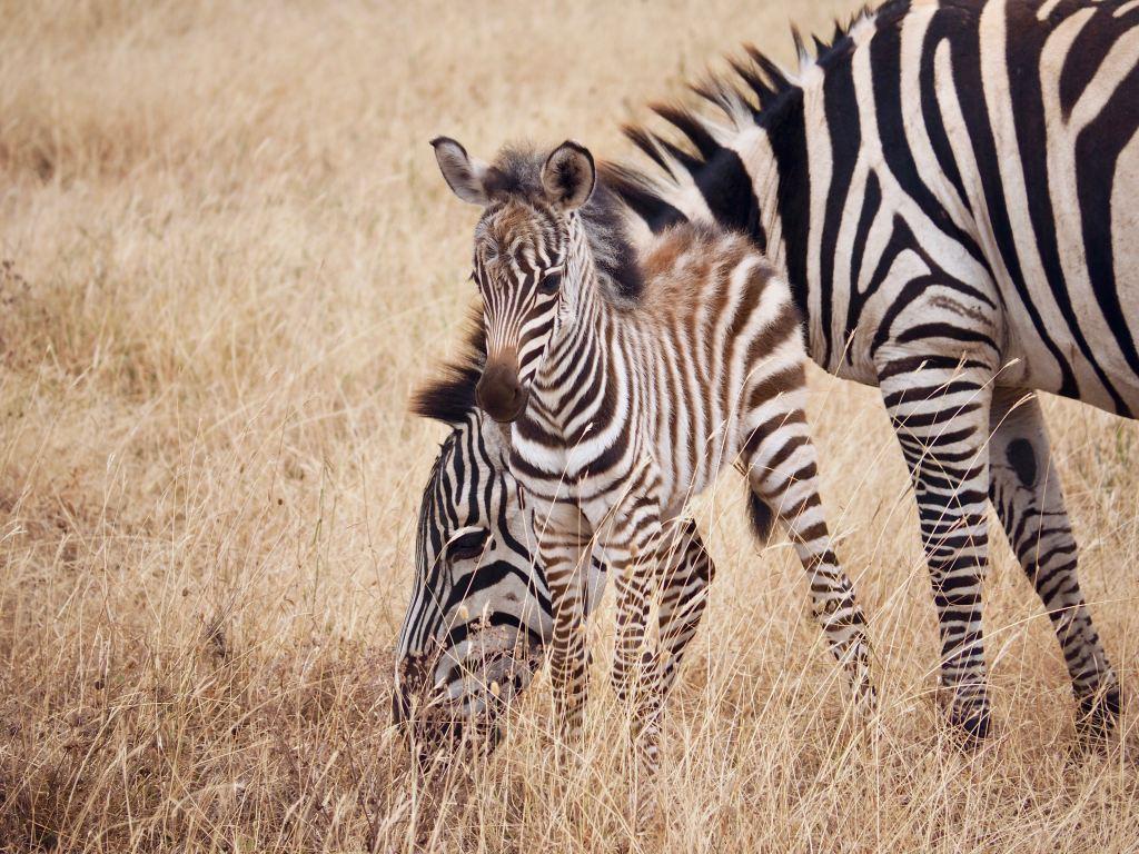 Afrika Tanzania Safari Zebra Travel