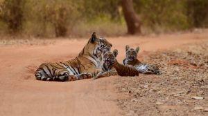 Indien Tiger Ranthambore Nationalpark safari rejser