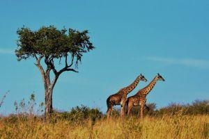 Afrika Tanzania Safari Giraffer Rejser