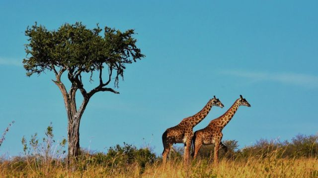 Africa Tanzania Safari Giraffes Travel
