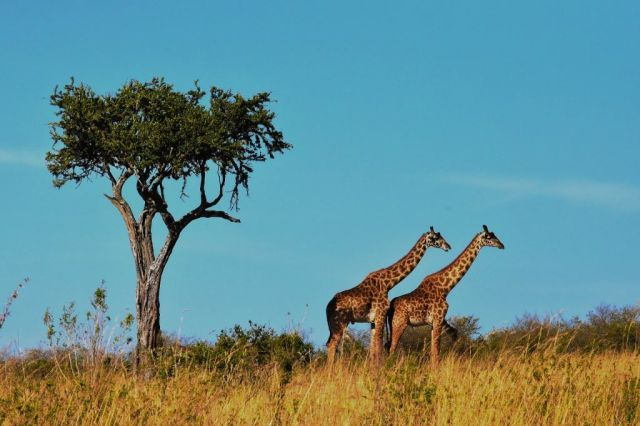 Afrikka Tansania Safari-kirahvit